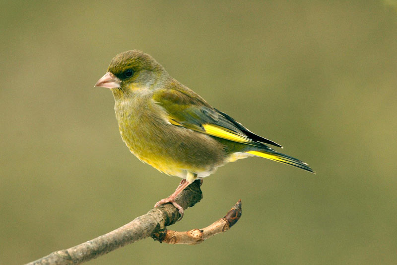 ... www wildbirdseeds co uk lincs index php whats that bird mainmenu 7